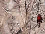 Cardinal's Song 1
