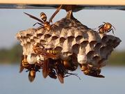 Large, Colorful Paper Wasps (Polistes major)