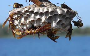 Large, Colorful Paper Wasps (Polistes major)