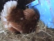 Broody Hen Warming Kittens