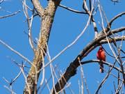 Cardinal's Song 2