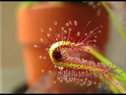 Carnivorous Plant vs Fruit Fly