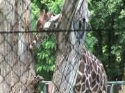 Giraffe Behind Fence