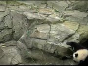 Smithsonian's National Zoo: Panda