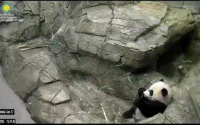 Smithsonian's National Zoo: Panda