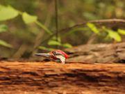 Bird Jumping on Log