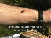 How a Bee Can Remove its Sting from Human Flesh