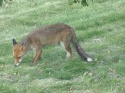Fox Enjoys Plums
