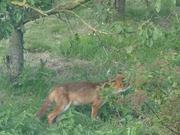 Fox Enjoys Plums