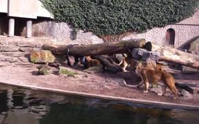 Lion Catches and Eats a Bird in a Zoo
